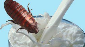 Hamam Böceklerinin Sütü Yararlı Çıktı !